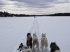 Minnesota dog sledding